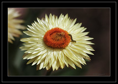 Paper Daisy-3802 (Barbara J H) Tags: flower australia yellowflower caterpillar qld daisy soe excellence tanawha australiannativeplant paperdaisy helichrysumbracteatum shieldofexcellence barbarajh maroochybushlandbotanicgardens plantsofaustralia strawdaisy