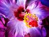 * Atriummacro (*atrium09) Tags: pink flower topf25 olympus hibiscus hdr photomatix 25faves atrium09 aplusphoto rubenseabra