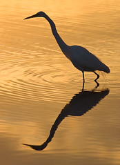 Conversations with Myself (Michael Pancier Photography) Tags: usa birds sunrise gold florida greategret goldenhour fineartphotography delraybeach naturephotography seor naturephotographer floridaphotographer michaelpancier michaelpancierphotography avianphotography greencaywetlands floridaavianphotography wwwmichaelpancierphotographycom seorcohiba floridabirdsbirdsofflorida