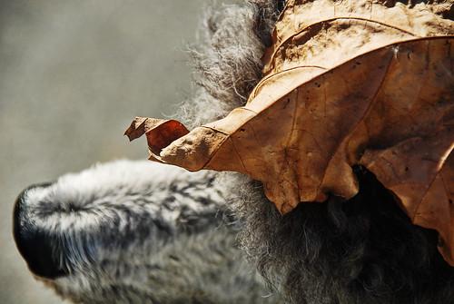 autumn dog hat silver leaf head tag poodle standard hautecouture standardpoodle naturesjewelry thelittledoglaughed wearingnature beatsphiliptreacy thepack:a=1