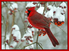 A Winter Wonderland (nature55) Tags: fab male germantown nature birds wisconsin outdoors bravo cardinal snowstorm aves snowing northerncardinal blueribbonwinner nature55 abigfave impressedbeauty avianexcellence 6inchesofsnow