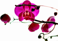 New Beginnings (Dosha) Tags: flowers nature orchids simplicity newyears dosha backtonature myfavour
