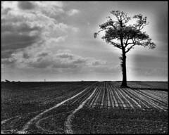 LONE TREE,NORFOLK UK
