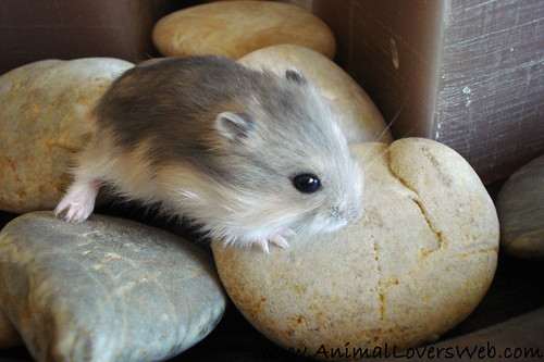 Baby Hamster On Pebbles by AnimalLoversWeb.