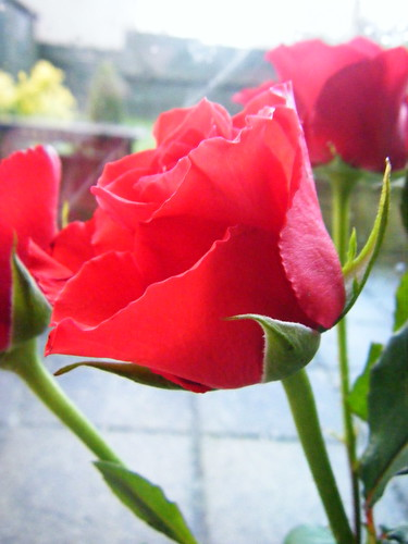 Rabbie's Red Rose