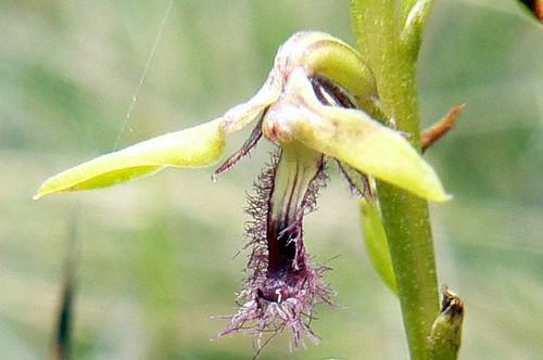 Genoplesium fimbriatum (closeup)