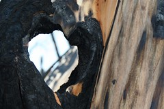 Heart (MaureenShaughnessy) Tags: wood trees winter snow forest montana seasons branches helena burned wildfire treetrunks comingback springmeadowlake earthisalive whatwillcome treebodies theyarelikeus notbarrennotsad