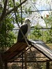 Young Philippine Eagle (Bradfordian Cliff) Tags: philippines palawan philippineeagle crocodilefarm palawanwildliferescueandconservationcenter