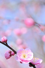 Spring Call (*Sakura*) Tags: pink winter flower japan blossom plum bluesky explore sakura bud  earlyspring      macro macro
