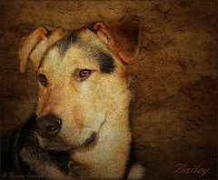 Bailey (Lensational) Tags: portrait pets art dogs animal shop canon painting 350d rebel xt paint canvas textures pro layers paintshoppro aged germanshepherd alsatian kelpie thelittledoglaughed petportaits lensational photographyatitsfinest