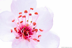 High Key Sakura Blossom (neilcreek) Tags: pink flowers light red plants white flower macro cute nature beautiful closeup cherry happy photography japanese petals spring still soft quiet close natural blossom five cluster small fineart highcontrast center monochromatic shades minimal pale petal zen tiny simplicity serenity stamen bloom cherryblossom overexposed sakura highkey backlit cheerful minimalism oriental delicate simple minimalist magnificent subtle sakurablossom imagekind stunnng crosslit horizontalorientation