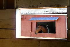Through the Stall Window (dphock) Tags: horse window panasonic frame thumbsup photofaceoffwinner 7daysofshooting filltheframefriday dmcfz18 pfogold thumbsupchallengewinner week41throughahole herowinner