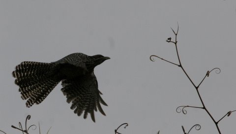 female asian koel take off from bauhinea creepers 220308