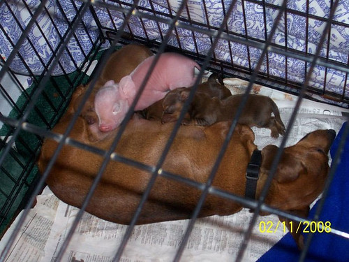 Pink and the Puppies Nursing