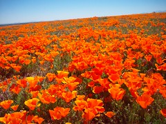 (Megan Meets World) Tags: california flowers orange field golden poppy