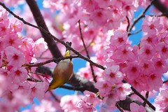 Bird on a cherry tree