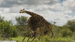 Giraffes Necking (artabracelta) Tags: giraffes jirafas necking lucha africa summer sudafrica southafrica viaje travel safari satara naturaleza nature storm paisaje panorama nikon d5100 teleobjetivo 70300 tamron kruger