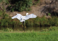 Snowy egret moves over the creek (Victoria Morrow) Tags: