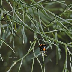What a Mess! 203/365 (Alucardo) Tags: orange david black macro green nature canon bug photography photographie thomas small beetle 100mm vegetation 365 intricate project365 strobist thomasdavid 5d2 5dii defi365 thomasdavidphotography thomasdavidphotographie