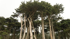 Cypress dos (rosaliamarteaga17) Tags: sanfrancisco california trees plants usa verde green art nature fog landscape plantas arboles wildlife picture cypress vegetacion finegold veh sutterpoint