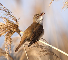 Great Reed Warbler (Dave @ Catchlight Images) Tags: bird reed nature birds island greek great migration warbler limnos