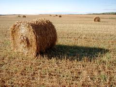 fauch et en attente (myrique baumier) Tags: champs harvest straw bales oats foin paille rcolte gramines chaume avoine rouleaux rouleauxdepaille