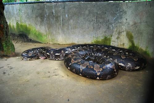 bohol python