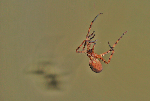 Spider Hanging