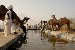 Watering hole (Koshyk) Tags: water drink fair camel pushkar thirsty rajasthan haudi