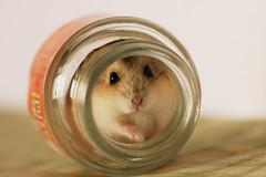 Hide (EricFlickr) Tags: pet cute animal taiwan hamster