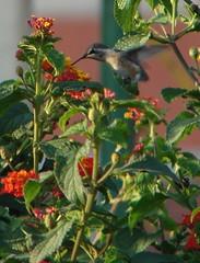 Bebé Picaflor - Vuelo 01 (Iván Utz) Tags: aves perú beijaflor colibrí chiclayo picaflor peruvianimages