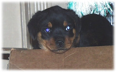 box2 (muslovedogs) Tags: dogs puppy rottweiler teaara zeusoffspring