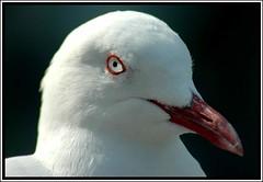 And your point is??? (Kim Aubrey) Tags: eye seagull australia tathra nsw southcoast naturesfinest avianexcellence kimlou58