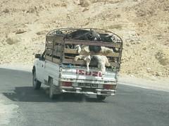 DSCN0858 (Sergio Conti) Tags: africa tunisia afrika animali afrique tamerza capre tamagzah