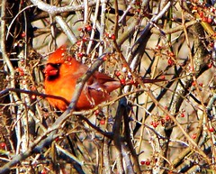 Cardinal On A Branch February 29,2008 (Free Of The Demon) Tags: winter usa home nature beautiful birds america wow newjersey colorful nj jersey anthony greatshot sos february 1001nights picturesque soe edison smrgsbord enjoylife naturesfinest goldenglobe supershot photographyisnotacrime bej golddragon ultimateshot eyecandyartpost ysplix amazingamateur theunforgettablepictures brilliant~eye~jewel awwwed betterthangood dragongoldaward yourpreferredpicture life~asiseeit worldtrekker beautyunnoticed ilovemypics natureselegantshot showmeyourqualitypixels freeofthedemon edcarbo me2youphotographylevel1