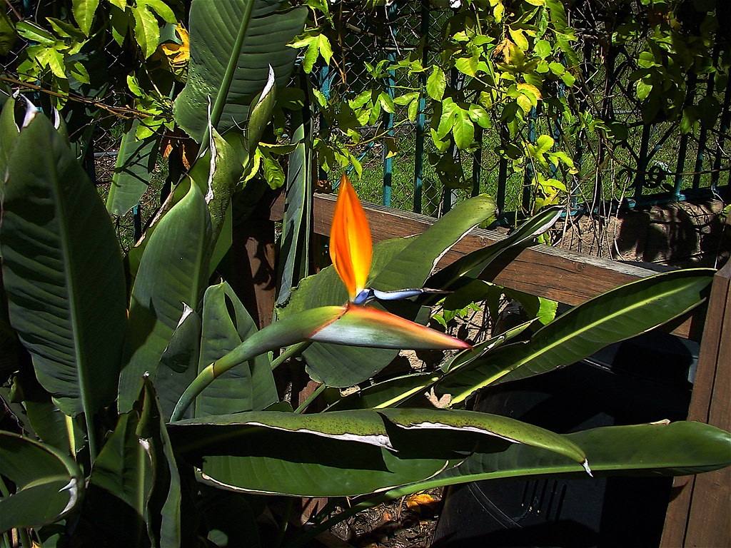 Birds of paradise, passion fruit vine in back
