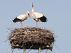 Pair of storks - IMG_0720a