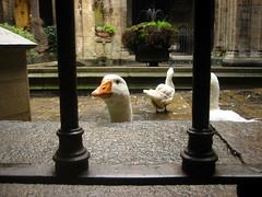 Are you looking at me? Are you looking at ME? (micampe) Tags: barcelona look spain catedral goose travisbickle maicampomc jeraora