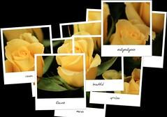 (reallyreallyrosie) Tags: flowers roses flores rose yellow canon polaroid eos kiss arty creative artsy blooms tamron hockney 400d rebelxti reallyreallyrosie copyrightpaulawakehammarch2008