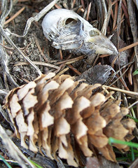 Bird skull and spruce cone (cheerytomato) Tags: bird death skull cone decay birdskull sprucecone