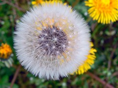 presente e futuro (perplesso42) Tags: flowers friends clock san dandelion fiori presente futuro soffione dentedileone don presenteefuturo macromarvels awesomeblossoms