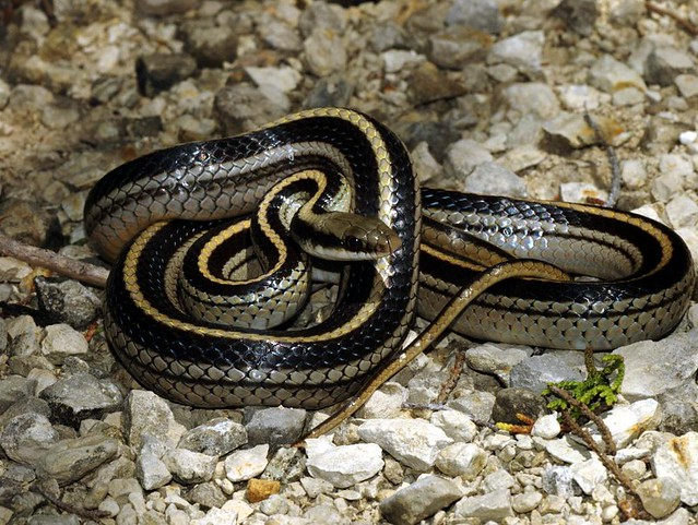 TEXAS Patchnose Snake
