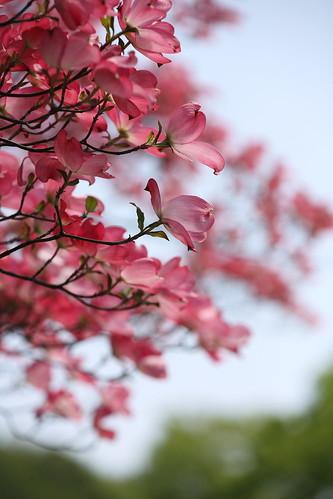 ピンクの春!