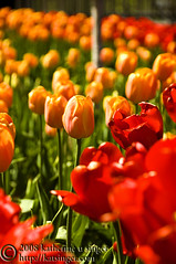 Tulips (photo.klick) Tags: red orange flower green nature minnesota landscape spring flora outdoor grow arboretum petal photoblog tulip bloom kartpostal tc076 tc104 katsingercom