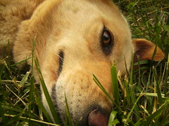 Lazy Dog Days (The Eighteenth Risk Taken) Tags: dog cute eye grass yard goldenretriever puppy polaroid nose happy golden nice mutt mix eyes puppies lab labrador sweet tan fluffy retriever blond blonde hyper doggy pup doggie bandi t730 polaroidt730