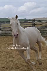 _LL06024 (Lothar Lenz) Tags: horse caballo cheval indigo 2008 cavalo pferd hest equus paard lusitano hst cremello hengst hestur cremelo konj hobu zirgs haciendabuenasuerte fotolotharlenz