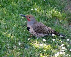 Northern flicker 2 (Coutou) Tags: bird flicker northernflicker supershot