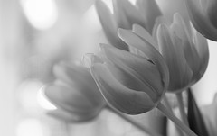 B&W Tulips (wigerl - herwig ster) Tags: bokeh carinthia flowers fujixt1 austria bw licht sharp outofcam light kärnten feldkirchen foto bestzoom fujixf18135mm ooc jpeg loveit tiffen fuji blackandwhite österreich europa europe tulips