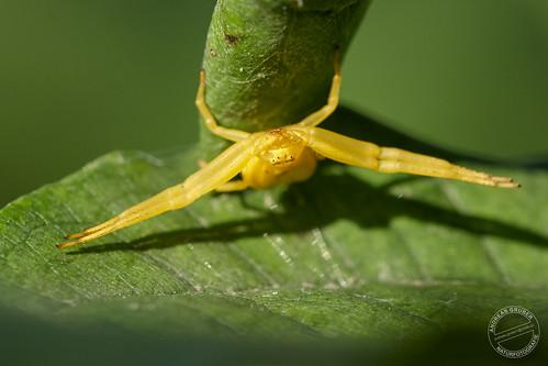 Veränderliche Krabbenspinne - Crab spider - Misumena vatia