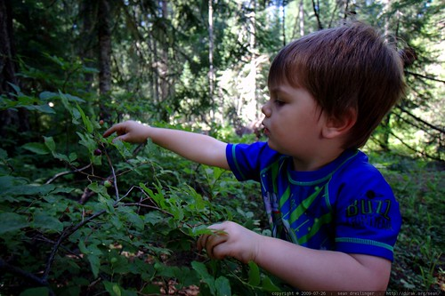 picking huckleberries in our campsite - _MG_9939